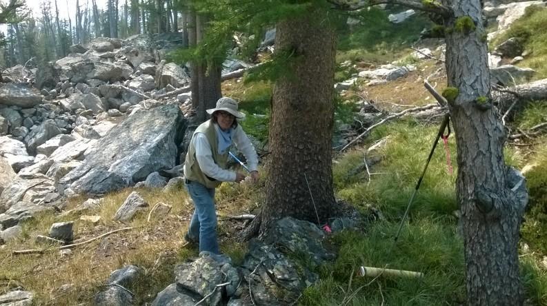 Dr. Knapp coring a large alpine larch tree.