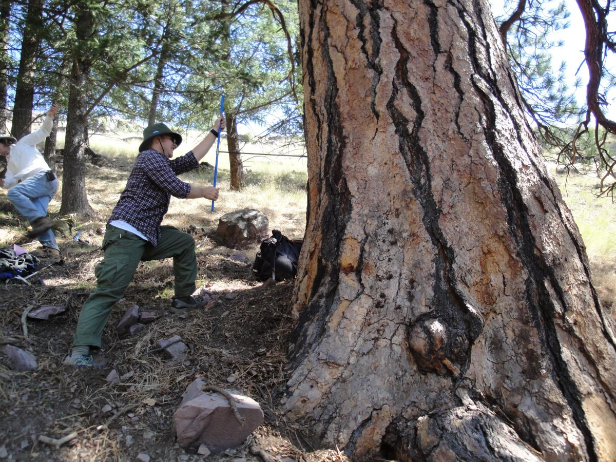 Photo 5: Phil White taking a core sample from a rather large ponderosa pine.
