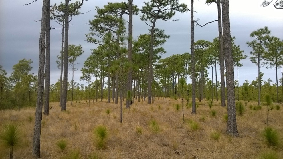 A typical longleaf pine ecosystem. Mature trees are approximately 200 years old.